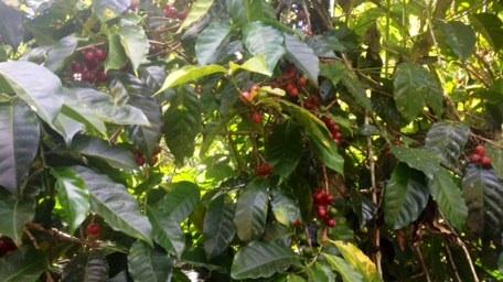 Reife, rote Kaffeefrüchte